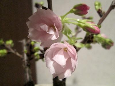 Sakura1403181