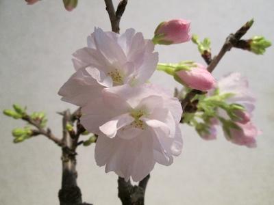 Sakura1403191